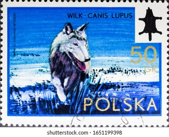 MADRID, SPAIN - FEBRUARY 16, 2020. Vintage stamp printed in Poland shows wolf, Canis lupus