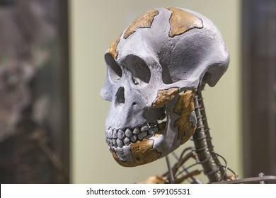 Madrid, Spain - February 24, 2017: Lucy skeleton, a female of the hominin species Australopithecus afarensis at National Archeological Museum of Madrid