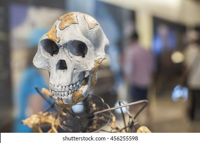Madrid, Spain - July 11, 2016: Lucy skeleton, a female of the hominin species Australopithecus afarensis at National Archaeological  Museum of Madrid