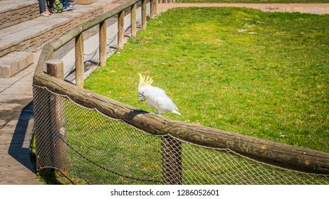 Madrid / Spain; March 11, 2017: A photo of a gorgeous white cockatoo standing. The white cockatoo is also known as Cacatua Alba or umbrella cockatoo, an exotic bird endemic to the tropical rainforest