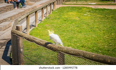 Madrid / Spain; March 11, 2017:A photo of a gorgeous white cockatoo standing. The white cockatoo is also known as Cacatua Alba or umbrella cockatoo, an exotic bird endemic to the tropical rainforest