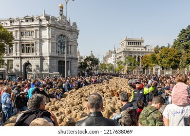 MADRID, SPAIN - OCTOBER 21, 2018: Hundreds of sheep pass through modern day Madrid celebrating the Transhumancia Festival remembering the arduous journey that their ancestors took every year.