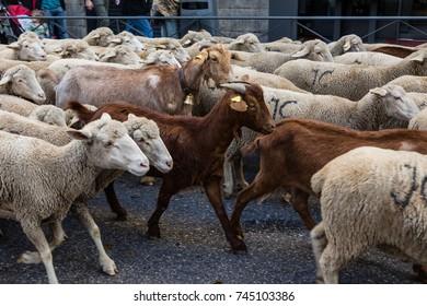 MADRID, SPAIN - OCTOBER 22, 2017: Feast of transhumance in Madrid, flock of sheep passing in door of the sun, OCT 22, 2017 in Madrid, Spain