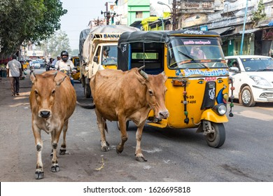 MADURAI, TAMIL NADU, INDIA - OCTOBER 27, 2018:Sacred cows roaming the streets in the Indian city of Maurai