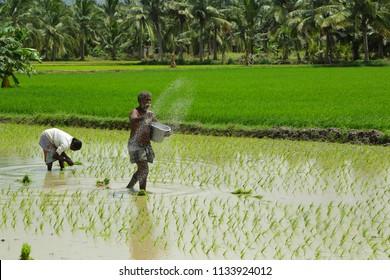 MADURAI-TAMILNADU-INDIA- JULY-14-2018-A farmer throwing fertilizer in the rice field.