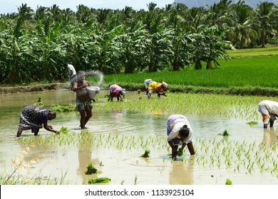 MADURAI-TAMILNADU-INDIA- JULY-14-2018-People working together in the rice field - a tropical landscape.