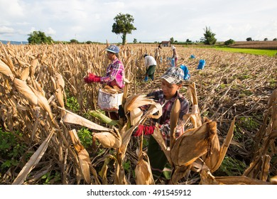 MAE RAMAT, TAK, THAILAND - OCTOBER 01, 2016 : Unidentified Myanmar migrant workers are harvesting corn in the farm Mae Ramat, Tak, Thailand.