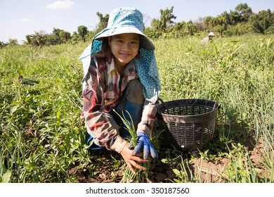 MAE SOT, TAK, THAILAND - DECEMBER 08 : Unidentified Myanmar woman is harvesting shallots 