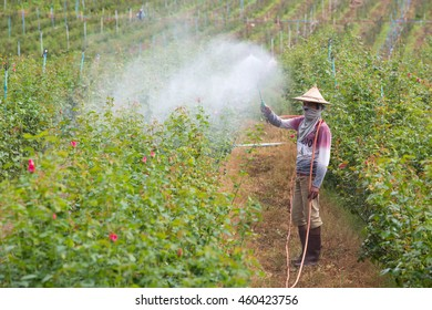MAE SOT, TAK, THAILAND - JULY 29 : Unidentified Myanmar migrant workers is spraying chemical in the rose farm at Ban Mon Hin Lek Fai, Mae Sot, Tak, Thailand on July 29, 2016.