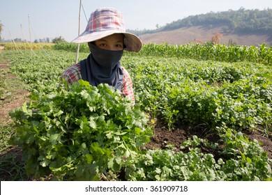 MAE SOT, THAILAND - JAN 13 : Unidentified woman Myanmar migrant worker is harvesting coriander at the garden Ban Monhinhlekfai, Tambol Mahawan, Mae Sot, Thailand on January 13, 2016