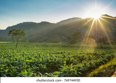 Maesai Chiangrai : sunset at tobacco farm with mountain background, Chiang Rai Province is the large tobacco Virginia type producing in Thailand