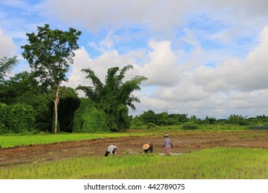 Maesot , Tak , Thailand , June 25 , 2016 : Myanmar farmer collecting seedlings of rice to planting during the rainy season in Thailand.
