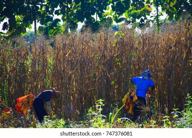 Maetha, Lampang, Thailand - October 21, 2017: Farmers are harvesting of corn to be used as animal feed.