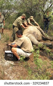 MAGALIESBERG, SOUTH AFRICA - October 14: Dehorning of rhinos in Askari Game Lodge for protection on October 14, 2015 in Magaliesberg, South Africa.  Veterinarian checking on condition of darted rhino.
