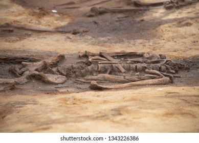 Magdeburg, Germany - March 19, 2019: View of a human skeleton. The skeleton was discovered during shaft work on the Magdeburg tunnel construction site together with 30 skeletons.