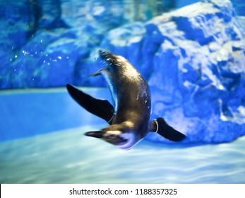 Magellan penguin dives in the water
