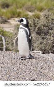 Magellanic Penguin colony in Punta Tombo - Patagonia, Argentina