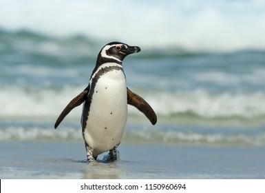 Magellanic penguin coming ashore on a sunny day, Falkland islands. Coastal wildlife.