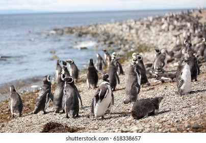 The Magellanic penguin on the Islands of Tierra del fuego, Patagonia, Argentina, colony
