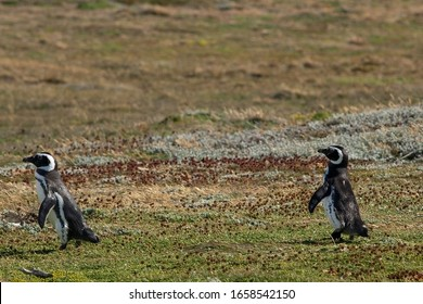 Magellanic penguin (Spheniscus magellanicus), walking single file. In a row, funny animal with landscape in background at Seno Otway, Punta Arenas, Patagonia, Chile.