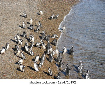Magellanic penguins community in the natural reserve of Punta Tombo, Patagonia Argentina