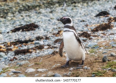 Magellanic penguins, Magdalena island in Patagonia, Chile, South America