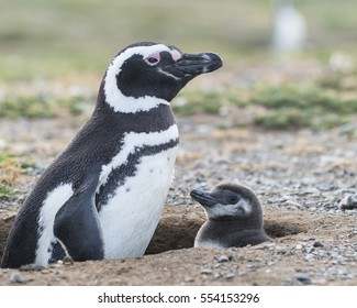 Magellanic penguins. Mother with her baby. Patagonia, Chile, South America