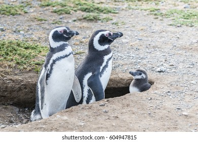 Magellanic penguins in Patagonia, Chile, South America