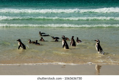 Magellanic penguins at Saunders Island in the Falkland Islands