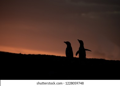 """Magellanic Penguins say good night.  As the day fades, one penguin gives an """"ecstasy call,""""--it's real name--as if to celebrate life anda beautiful end to he day."""