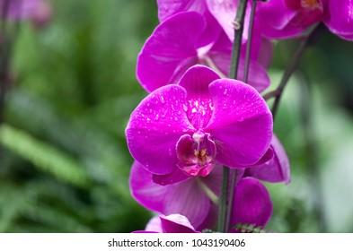 magenta bright orchid flowerd in the rain