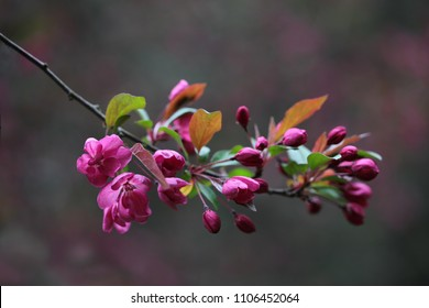 Magenta Cherry blooming in the spring season