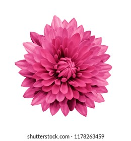 Magenta flower dahlia  on a white isolated background with clipping path.   Closeup.  no shadows.  For design.  Nature.