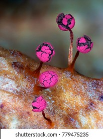 Magenta fruit bodies of a slime mold, or myxomycete, Physarum roseum. Blobs on stipes look like flower-buds or street lights. Slime moulds are organisms that gather from microscopic amoebae.