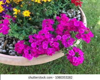 Magenta garden verbena flowers (Verbena Hybrida) inside a flowers pot.