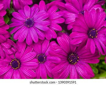 Magenta Gerbera Daisies on a Green Background