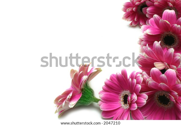 Magenta Gerbera flower border, isolated on white