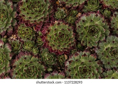 Magenta and Green Echeveria Succulents in Clusters