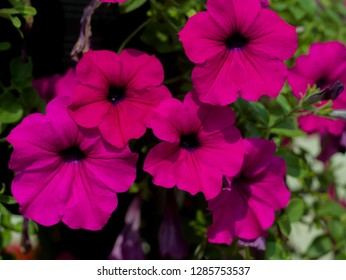 Magenta Petunia,Petunia in a pot,Petunia and blurred background,Close Up of Petunia flower.