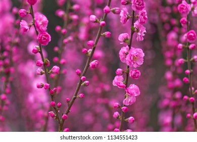 Magenta and pink plum blossoms in full bloom in early spring in Beijing, China
