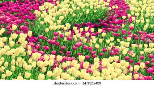 Magenta tulips flowers and yellow tulips,  flowering in spring tulips garden. Color flowers background.
