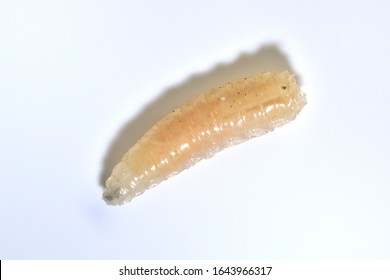 Maggot wriggling on white background