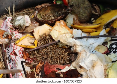 Maggots in Compost with Rotting Food