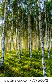 Magic Birch forest