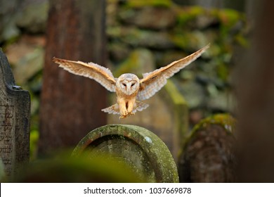 Magic bird Barn owl, Tyto alba, flying above stone fence in forest cemetery. Wildlife scene from nature. Animal behaviour in wood. Owl landing. Urban wildlife.