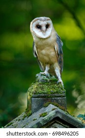 Magic bird Barn owl, Tyto alba, sitting on stone fence in forest cemetery. Wildlife scene form nature. Animal behavior in forest.