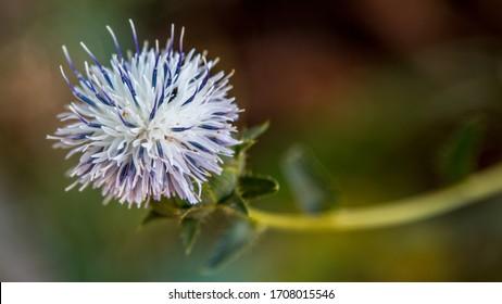 Magic Flower near Mirador La Falzia