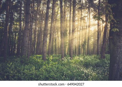 Magic foggy forest. Beautiful sunrise in morning forest