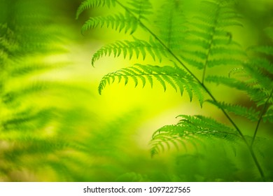 Magic fresh green fern leaves in morning light. Copy space background. Selective focus used.