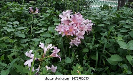 Magic lilies in the garden